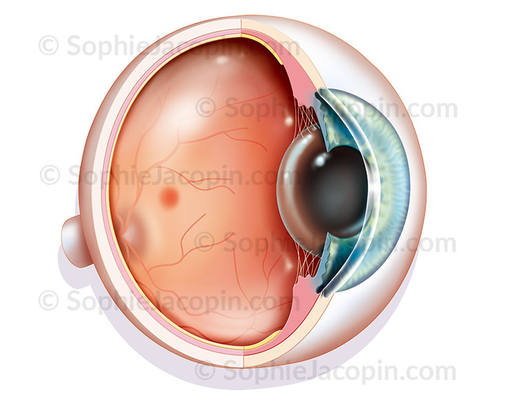 Illustration medicale_Anatomie de l'oeil