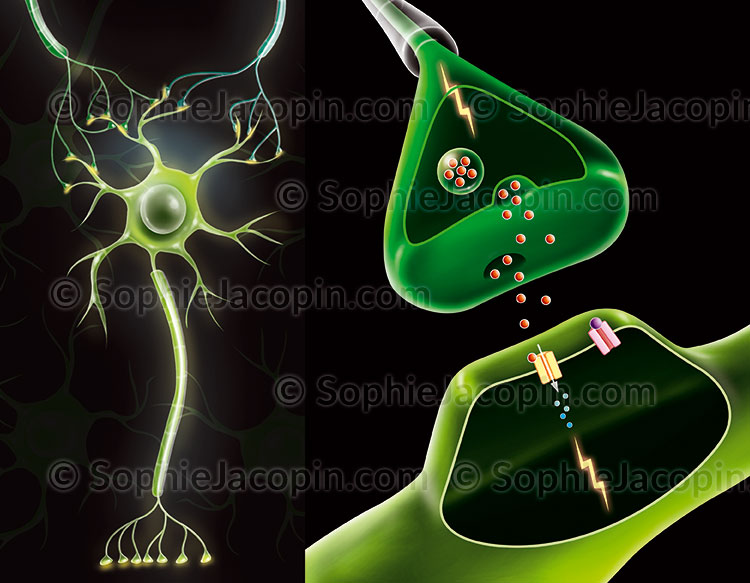 Illustration medicale_Neurone-synapse