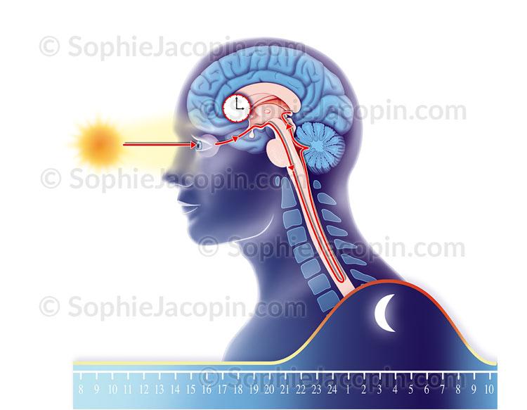 Illustration medicale_Horloge biologique