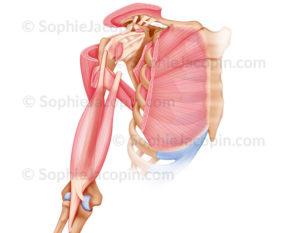 muscles épaule