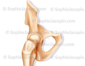 articulation hanche membre supérieur
