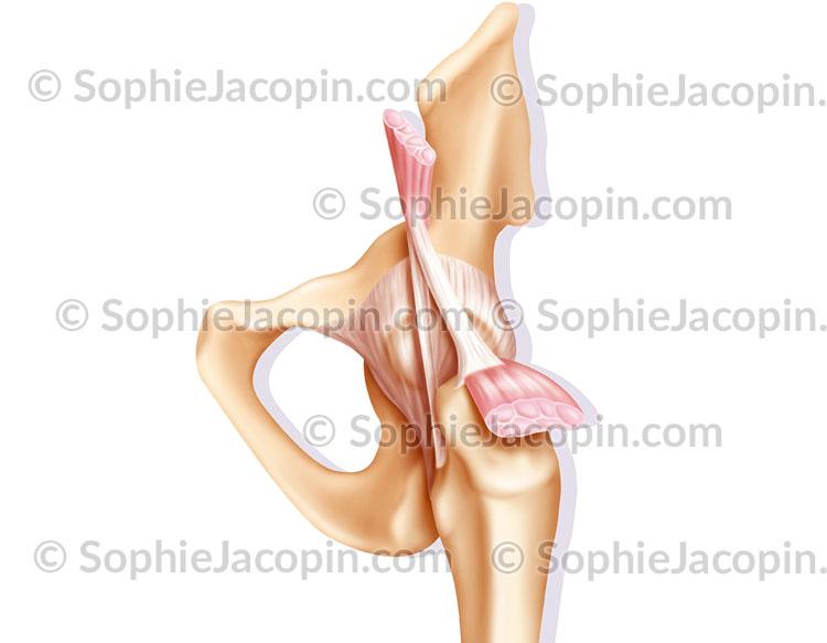 Articulation hanche capsule articulaire