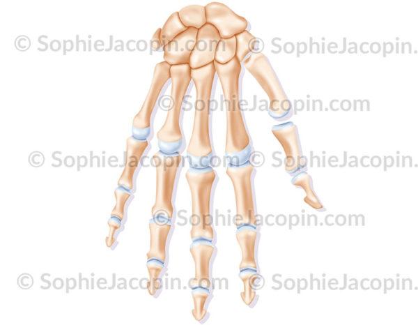 squelette main membre supérieur