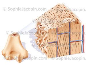 Structure osseuse épiphyse humérus