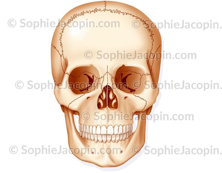 squelette crâne