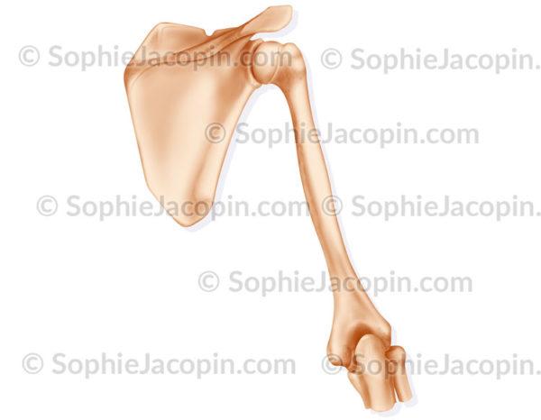 squelette du bras - vue postérieure