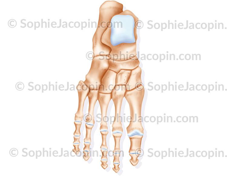squelette pied membre inférieur