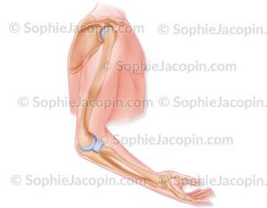 squelette bras membre supérieur