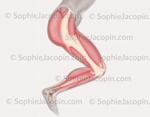 muscles du membre inférieur, musculature de la jambe - © sophie jacopin