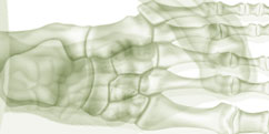 Anatomie - Membre inférieur- Pied