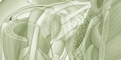Anatomie - Membre supérieur - Épaule