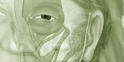 Anatomie - Système musculaire - Tête