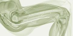 Anatomie - Système nerveux périphérique - Membre inférieur