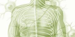Anatomie - Système nerveux périphérique