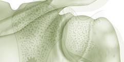 Anatomie - Système osseux - Articulation Épaule