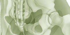 Anatomie - Système osseux - Squelette Bassin