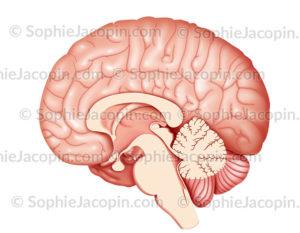 Cerveau coupe sagittale médiane