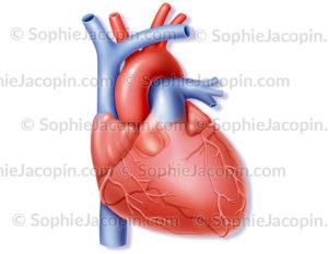 Cœur et artères coronariennes - © sophie jacopin