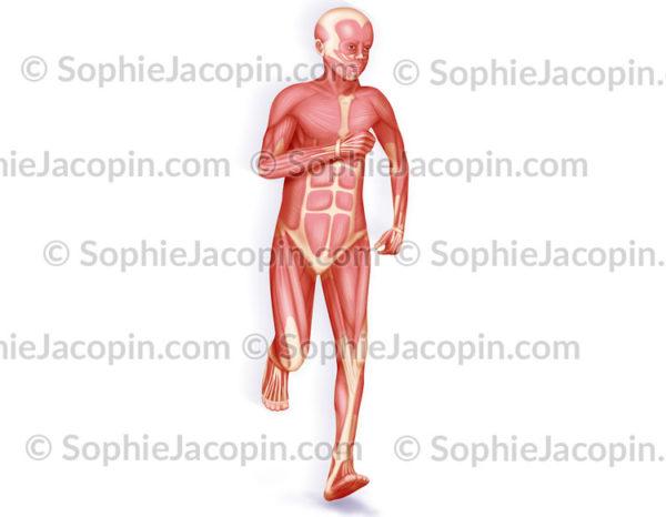 Système musculaire enfant