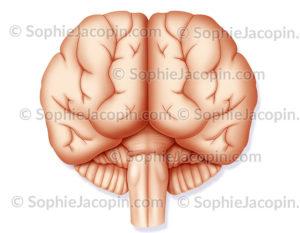 Cerveau vue antérieure