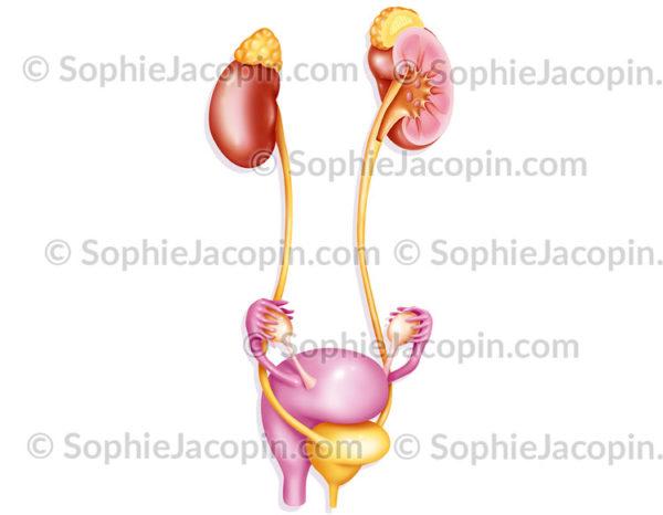Système urinaire féminin urologie