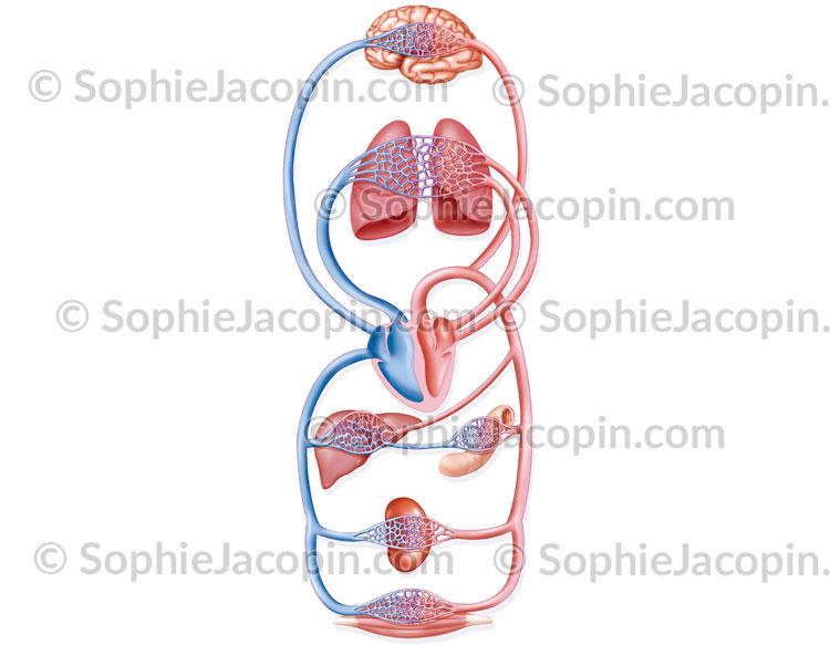 Schéma circulation sanguine