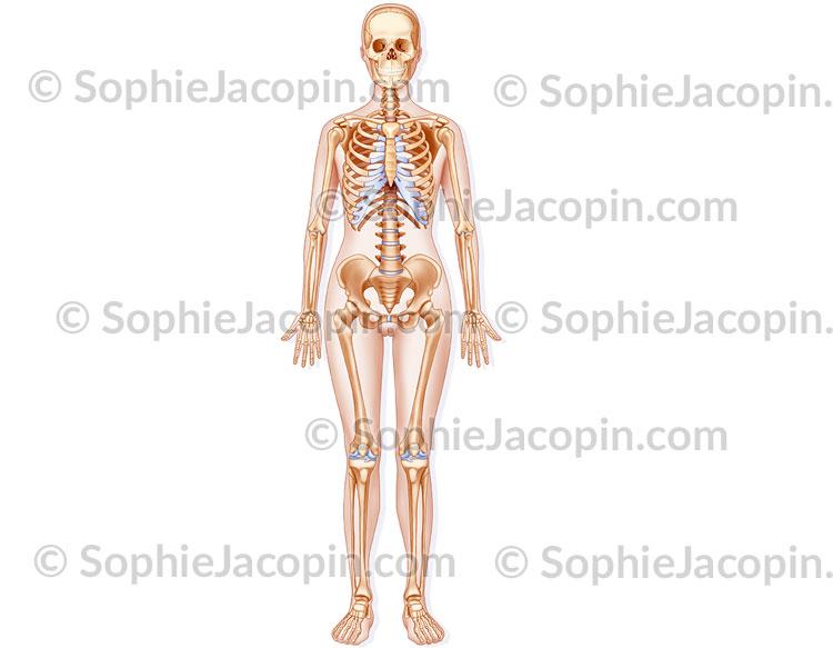 Squelette féminin