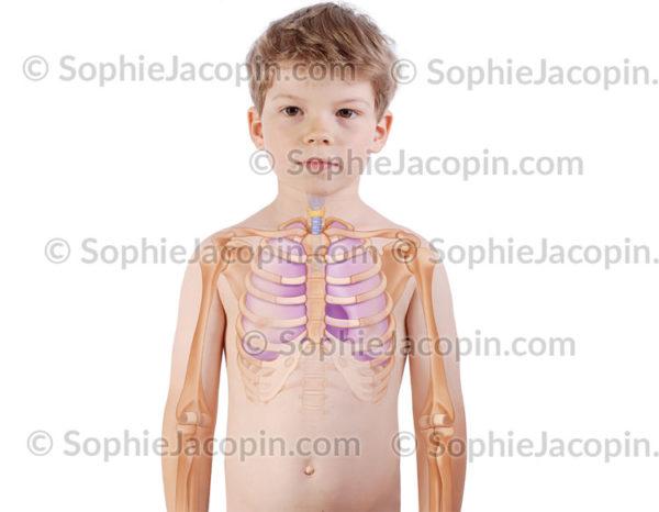 Poumons trachée enfant