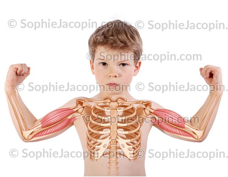 Muscles bras enfant