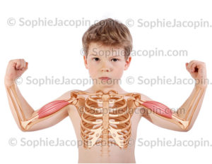 Muscle biceps brachial enfant