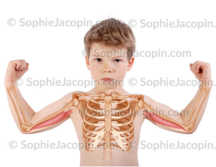 Muscle triceps brachial enfant