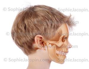 Crâne enfant 6 ans