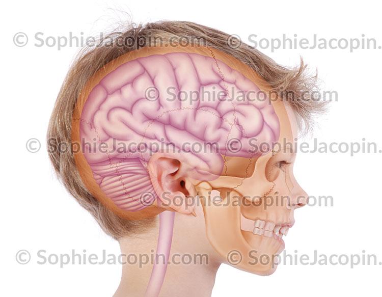 Crâne Cerveau enfant