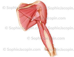 Muscles épaule vue postérieure