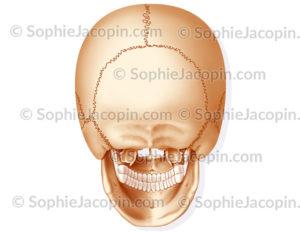 Crâne vue postérieure