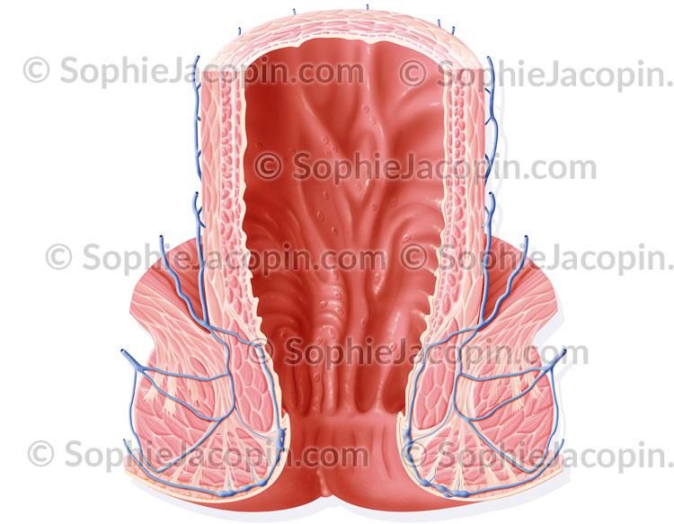 Coupe du rectum