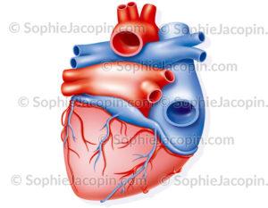 Vascularisation du cœur