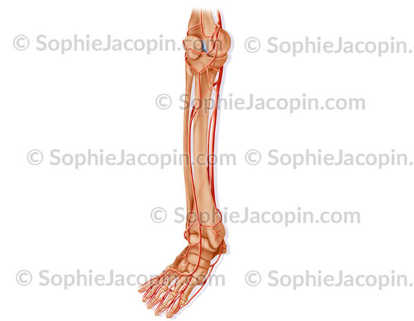 Artères de la jambe