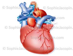 Cœur gros vaisseaux