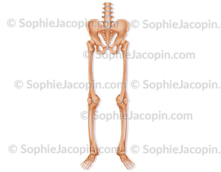 Squelette membre inférieur