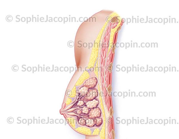 Anatomie du sein