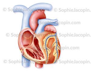 Cœur, anatomie du coeur, coupe de l'oreillette et du ventricule droit - © sophie jacopin