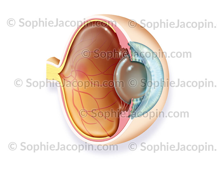 Anatomie œil
