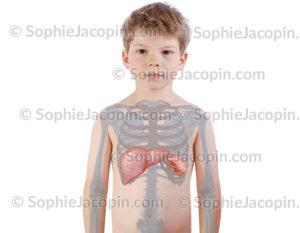Organes recyclage sang enfant