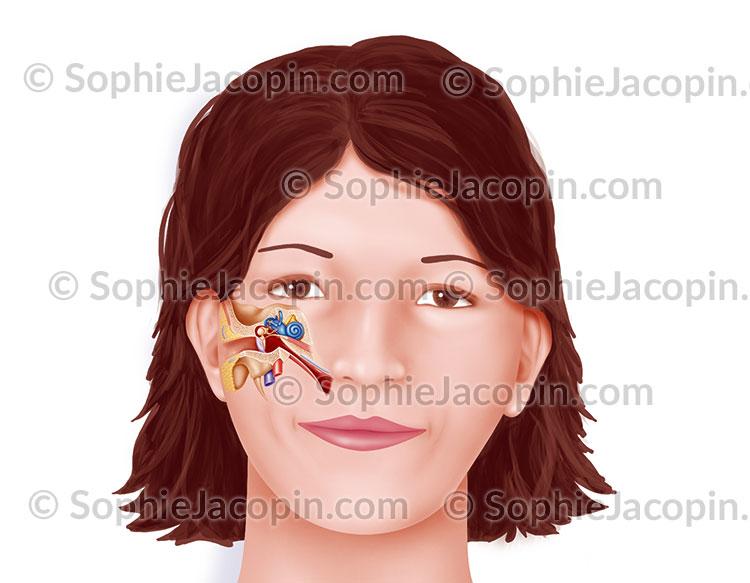 Anatomie oreille