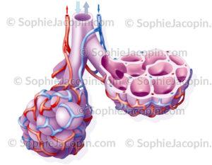 Alvéoles pulmonaires