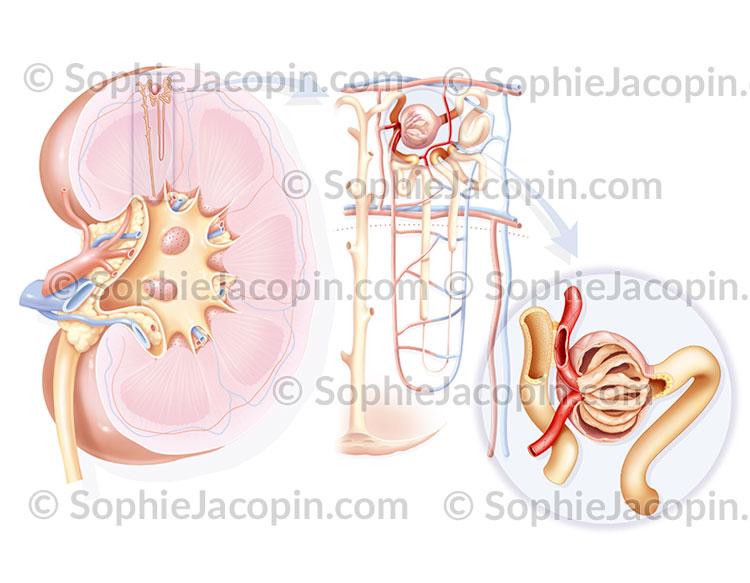 Rein néphron glomérule