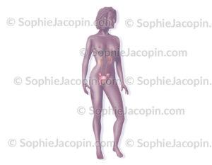 Système génital et urinaire féminin
