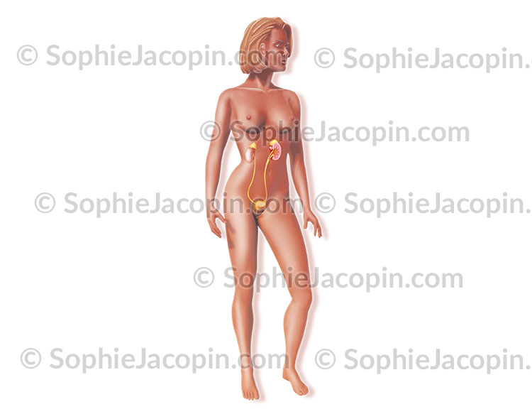 Système urinaire féminin