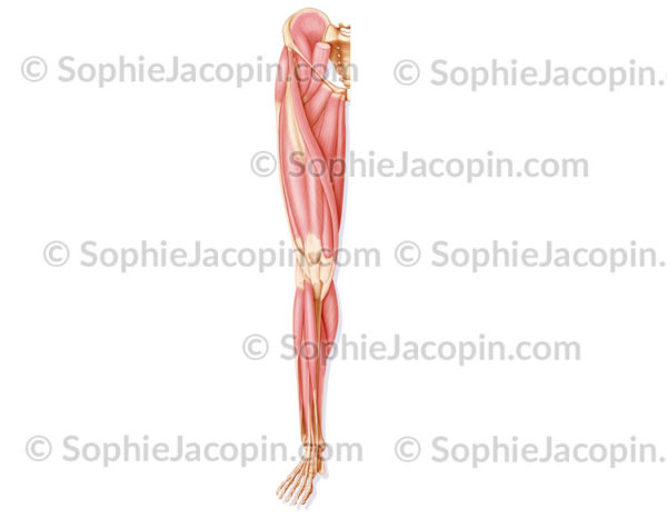 Muscles antérieurs jambe